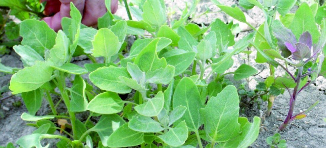 La quinoa, ¿un nuevo cultivo con posibilidades de futuro?